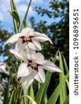 abyssinian gladiolus  gladiolus ... | Shutterstock . vector #1096895651