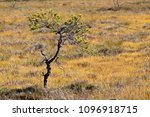 Small photo of A Finnish bog with a runty pine in summer