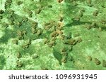 baby of frogs rearing on... | Shutterstock . vector #1096931945