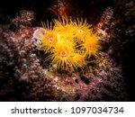 sunflower coral. macro... | Shutterstock . vector #1097034734