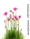 Stock photo pink flowers isolated on white 109705541