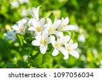 White Flower Of Andaman...