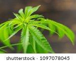 the plant leaves marijuana ... | Shutterstock . vector #1097078045