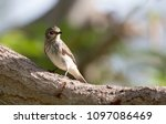 Small photo of Blackstart, the tiny bird seen in deserts region, especially in the Middle East, sitting alone in the morning in Riyam Park, Oman. Found sitting on a long branch of the tree, on green blur background