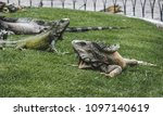 large wild iguanas roaming free ... | Shutterstock . vector #1097140619
