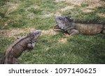 large wild iguanas roaming free ... | Shutterstock . vector #1097140625