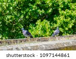 Two city pigeons are playing, walking together on a sunny day.