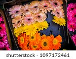 gerber daises on the market ... | Shutterstock . vector #1097172461