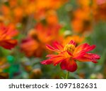 Orange Mexican Aster  Cosmos...