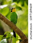 long tailed broadbill perched... | Shutterstock . vector #1097189609