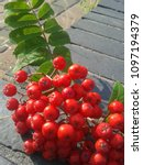 Small photo of Bunch of Rowan Berries