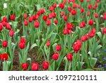 tulips flower beautiful in... | Shutterstock . vector #1097210111