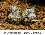 a ground nest filled with four... | Shutterstock . vector #1097219561