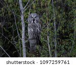 great grey owl in its natural... | Shutterstock . vector #1097259761
