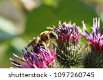 close up bees macropis fulvipes ... | Shutterstock . vector #1097260745