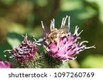 macro of the striped and fluffy ... | Shutterstock . vector #1097260769