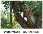 a northern lynx in the forest | Shutterstock . vector #1097264831