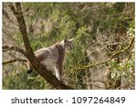 a northern lynx in the forest | Shutterstock . vector #1097264849