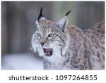 a northern lynx in the forest | Shutterstock . vector #1097264855