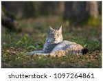 a northern lynx in the forest | Shutterstock . vector #1097264861