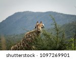 close up of a giraffe  giraffa  ...   Shutterstock . vector #1097269901