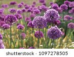 allium purple flowers in garden  | Shutterstock . vector #1097278505