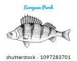 river and lake fish. european... | Shutterstock .eps vector #1097283701