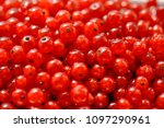 red sweet currant berry... | Shutterstock . vector #1097290961