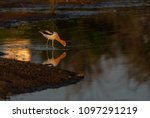 an american avocet and... | Shutterstock . vector #1097291219