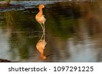 an american avocet and... | Shutterstock . vector #1097291225