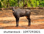awesome close view of nilgai... | Shutterstock . vector #1097292821