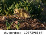 a cute baby canada goose gosling | Shutterstock . vector #1097298569