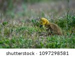 a cute baby canada goose gosling | Shutterstock . vector #1097298581