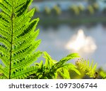 Dryopteris  Commonly Called...