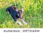 east european shepherd young... | Shutterstock . vector #1097316344
