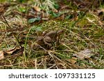 common toads sitting on the... | Shutterstock . vector #1097331125