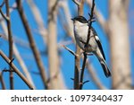 a fiscal flycatcher perched on... | Shutterstock . vector #1097340437