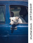Small photo of Dog looking out from a car window to understand an animal topic concept