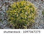 a beautiful little bush. green... | Shutterstock . vector #1097367275