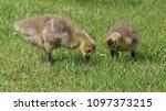 gosling greylag goose x canada... | Shutterstock . vector #1097373215