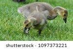 gosling greylag goose x canada... | Shutterstock . vector #1097373221