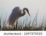 great white egret standing in a ... | Shutterstock . vector #1097375525