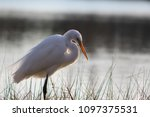 great white egret standing in a ... | Shutterstock . vector #1097375531