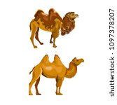 Bactrian Camel During And Afte...