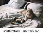 Stock photo adorable fluffy little scottish straight grey tabby cat lying in bed enjoying morning coffee 1097409464