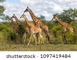 giraffes herd in sabi sands... | Shutterstock . vector #1097419484