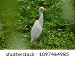 the great egret  ardea alba  | Shutterstock . vector #1097464985