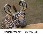 Stock photo funny zebra portrait closeup 109747631