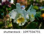 hybrid orchid petal white... | Shutterstock . vector #1097536751