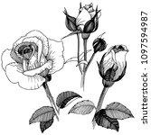 vector roses. floral botanical... | Shutterstock .eps vector #1097594987